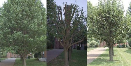 Tree Removal in Holly Springs GA - Chipper Tree Service - Bradfor_Pear_before_during_after_treetrimming