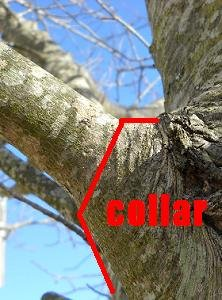 Tree Trimming & Pruning Company Cumming GA | Chipper LLC Tree Service - Maple_junction_collar_treetrimming